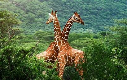 Giraffe Wallpapers Awesome Cave