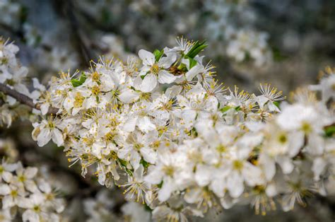early blooming white flower tree blooming white flowers in early spring apple tree in the garden in the street stock image