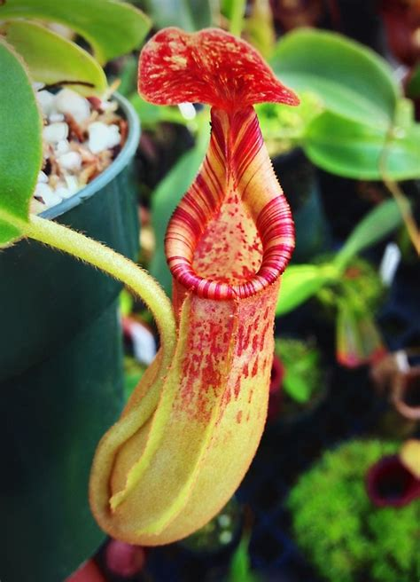 hybrid plants exotic plants nepenthes lowii hybrid from exotica plants au exotic plants pinterest