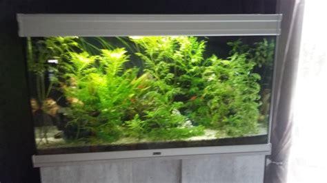 algues filandreuse aquarium eau douce