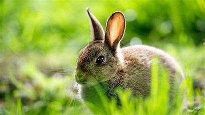 Rabbit Desktop Wallpapers Bunny Bunnies Background 1080p