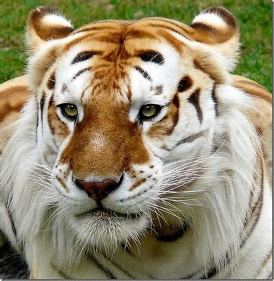 Funny Laugh Very Rare Golden Tiger
