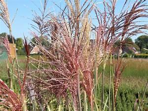 Gräser Zurückschneiden Frühjahr : chinaschilf 39 malepartus 39 miscanthus sinensis 39 malepartus ~ Lizthompson.info Haus und Dekorationen