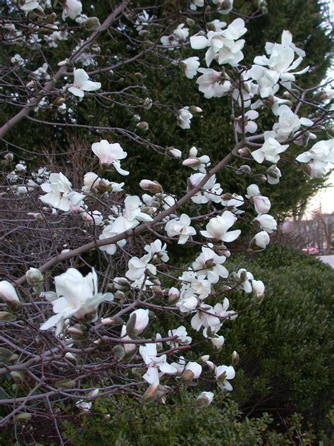 magnolia tree types file magnolia tree 2 jpg wikimedia commons