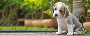 how to train a beagle puppy to pee outside With train your dog to pee outside