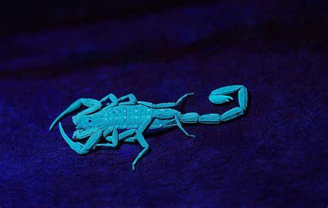 Scorpion Animal Wallpaper - scorpions animals wallpaper
