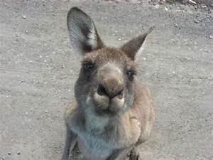 Jacked Kangaroo | www.imgkid.com - The Image Kid Has It!