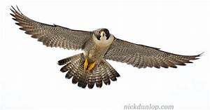 flying falcon - Google Search | Falcons and Hawks ...