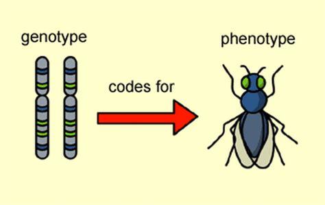 Predicting And Calculating Phenotype & Genotype Ratios/probabilities
