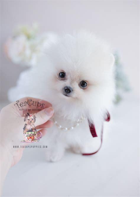 white pomeranian puppies teacups puppies boutique