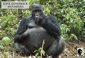 Grauer's gorilla lone silverback Mugaruka missing a hand ...
