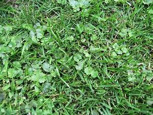 Wie Pflege Ich Meinen Rasen Im Frühjahr : unkraut im rasen ist das gundermann mein sch ner ~ Lizthompson.info Haus und Dekorationen