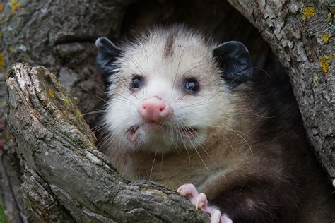rodents american marsupials north species opussum wildlife shots minnesota many montana weasel opossums there