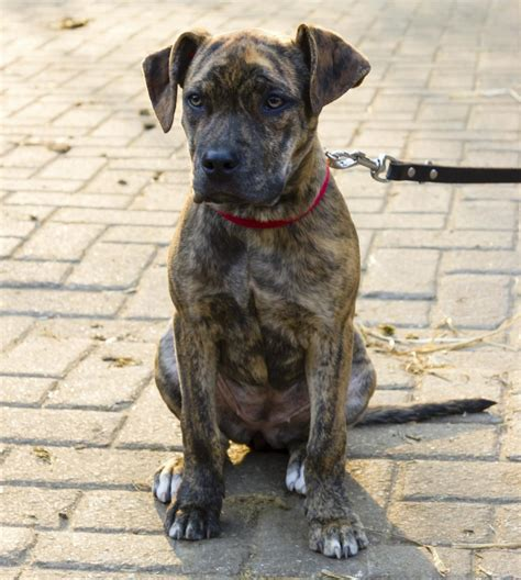Key Characteristics of the Catahoula Cur-American Bulldog Mix