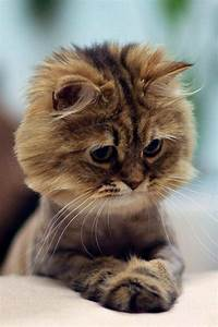 60 best images about Cat grooming on Pinterest | Persian ...