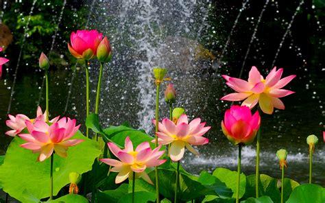 lotus flower wallpaper hd   pink lotus flower