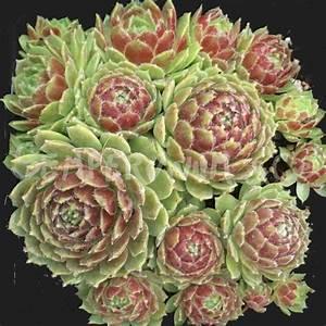 Plante Succulente Espèces Représentatives : sempervivum patens joubarbe plante succulente ~ Nature-et-papiers.com Idées de Décoration