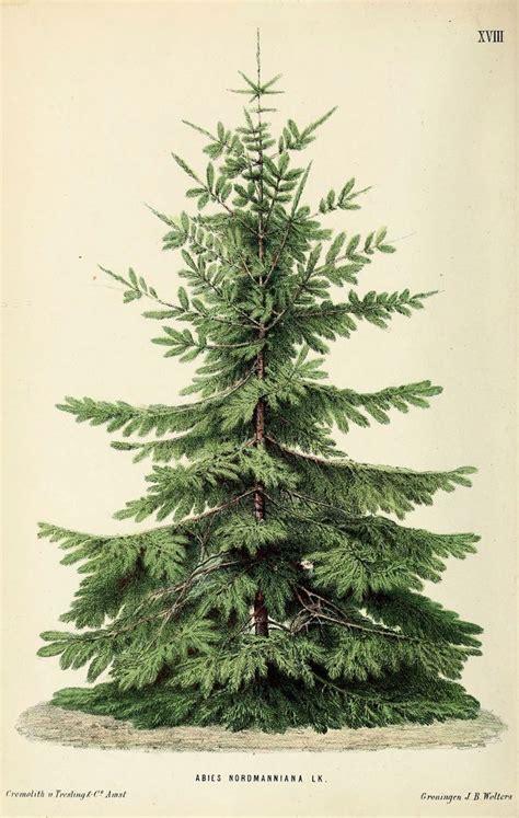 nordmann fir looks like the tree that charlie brown
