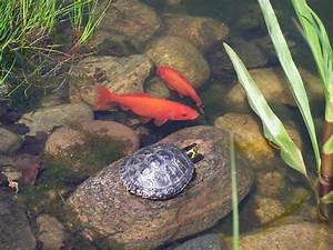 Goldfisch Haltung Im Teich : goldfische im teich diese dinge sollte man dringend ~ A.2002-acura-tl-radio.info Haus und Dekorationen