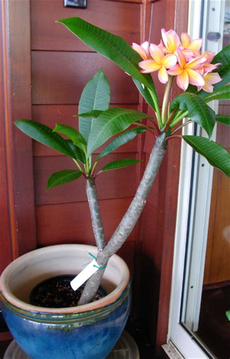 frangipani care in pots plumeria plant care images