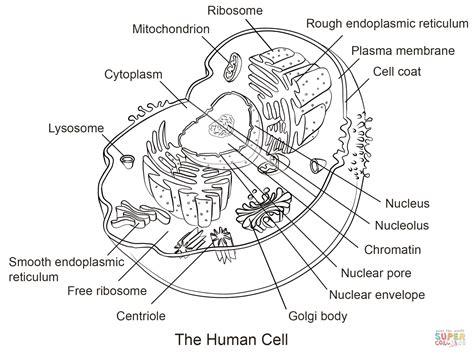 Celula animal para colorear sin nombres Imagui
