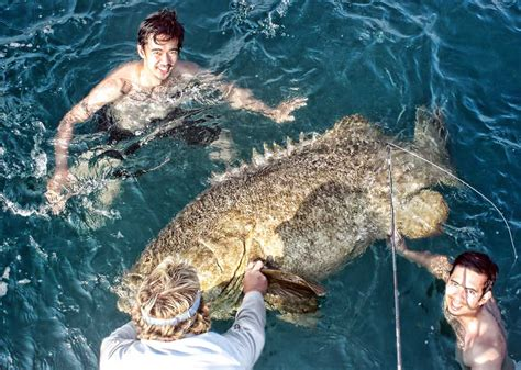 goliath grouper fish fishing largest atlantic jewfish groupers groupe shark hitler looks mildlyinteresting aug trends discover latest snatch bite single