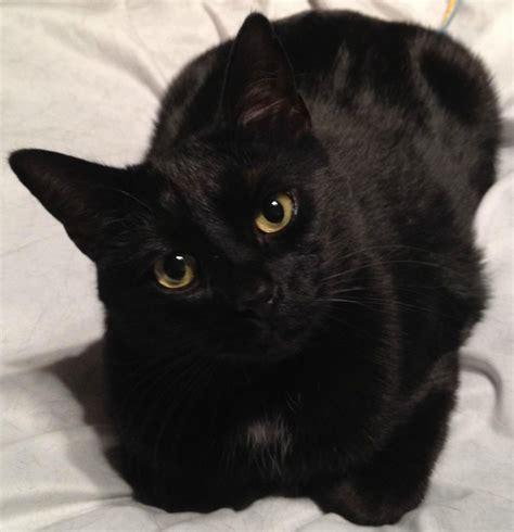 beautiful black cats pouted  magazine