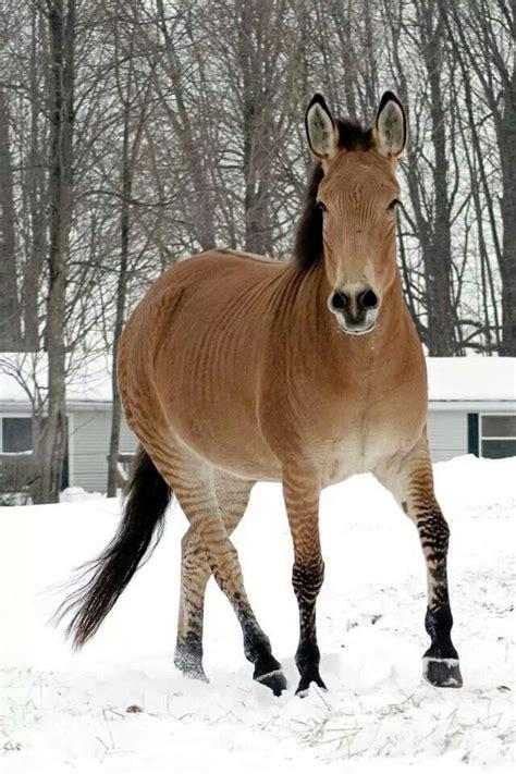 zorse  mix   horse  zebra horses pinterest