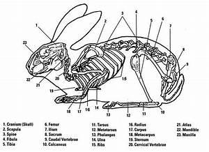 Rabbit Skeletal System