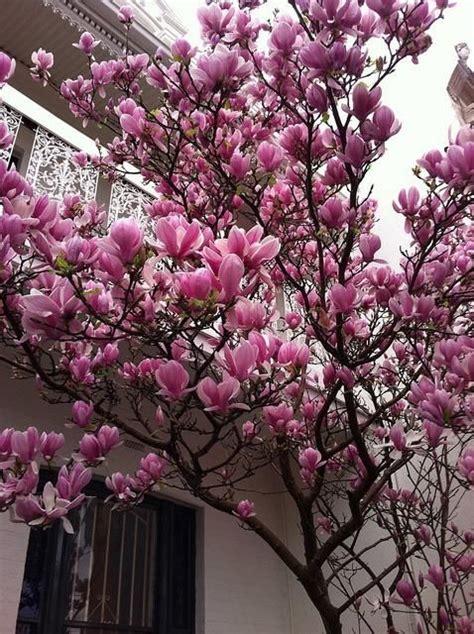 japanese magnolia tree facts japanese magnolia tree bing images