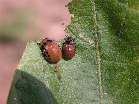 unvollstaendige metamorphose von insekten merkmale der