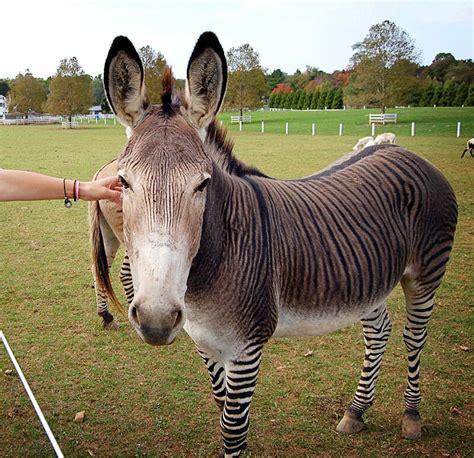 donkey zebra zedonk horse hinnies donkeys horses zonkeys zebras hybrid zonkey stallion oh cross between hertel courtesy chris flickr modernfarmer