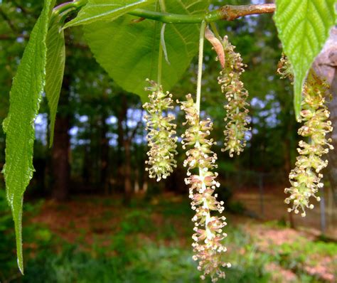tree blooms allergies rising allergenic trees in southern utah what to do stgnews videocast st george news
