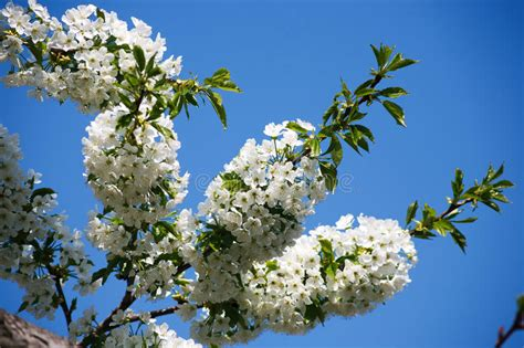 Cherry Tree Spring Blossom Branch With Flowers Closeup