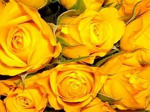 Gelbe Rose Bedeutung : rosen fotos ~ Whattoseeinmadrid.com Haus und Dekorationen