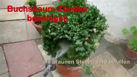buchsbaum befall bekaempfen youtube