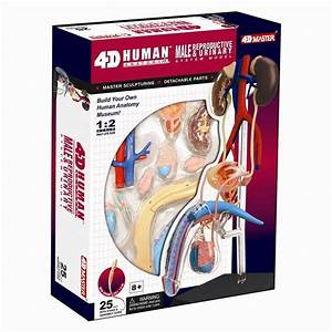 Male Reproductive  U0026 Urinary System Human Anatomy Model 4d