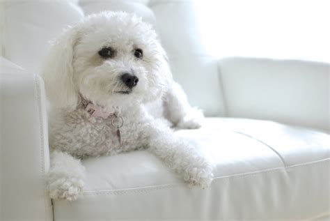 if i breed my maltipoo with a poodle will i get the