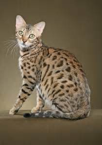 bengal cat for list of cat breeds with pictures and names pets world
