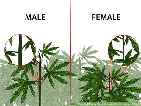 The 2 Best Ways To Identify Female And Male Marijuana Plants