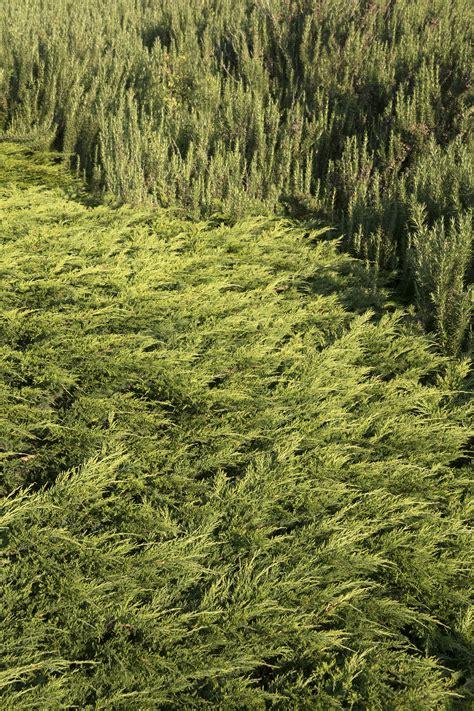 calgary carpet juniper monrovia calgary carpet juniper