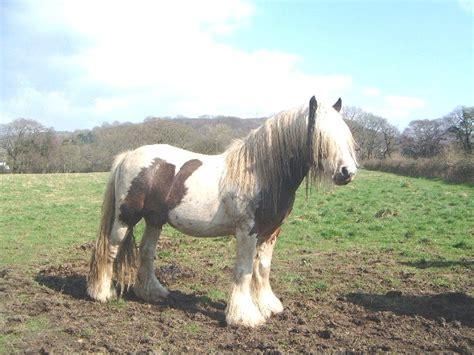 midget horse ponies horses gypsy stallion pony osnovosti vannercentral