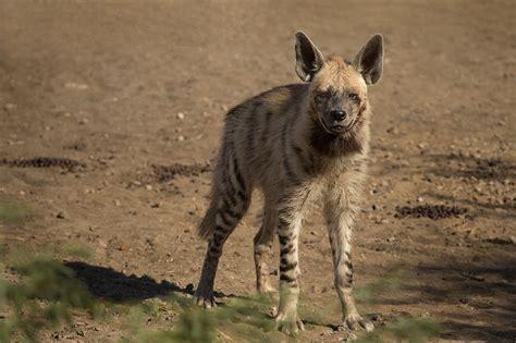 hyena burger saudi taste  wild meat threatens species
