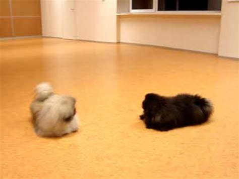 pekingese puppies blacky  villu playing youtube