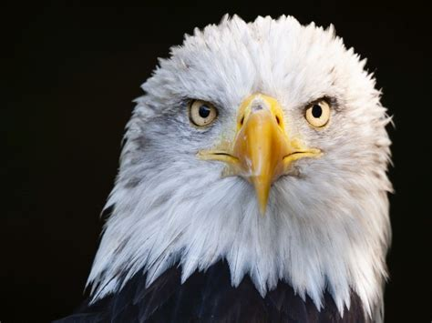 bald eagles   infected  newly identified virus