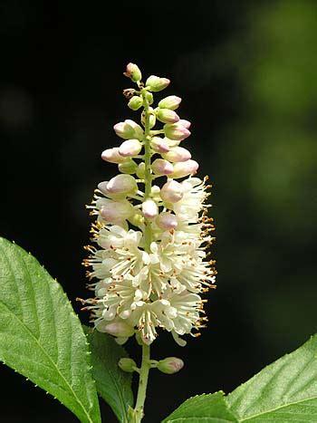 coastal sweet pepperbush clethra alnifolia
