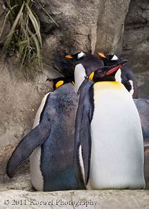 King penguin – Korwel Photography