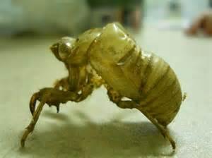 cicada skin cicadas shed their exoskeleton