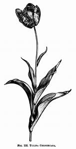Tulipa Gesneriana ~ Free Printable Vintage #Tulip #Clipart ...