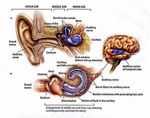Label Ear Diagram